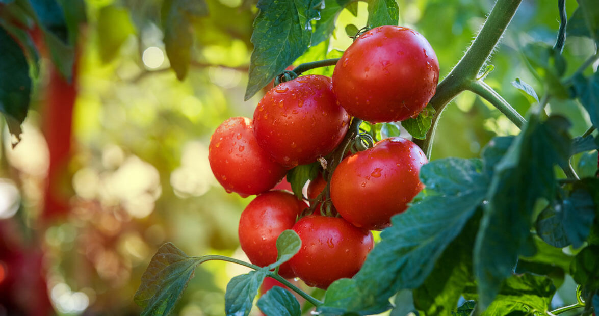 Tips For Growing Tomatoes Our State