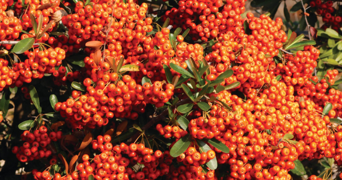Pyracantha Offers Fervent Fall Color Our State