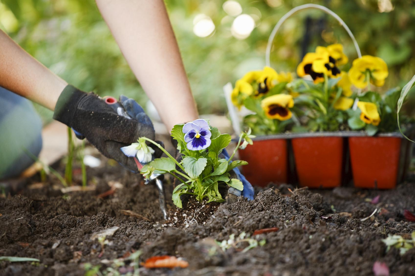 hands planting flowers in garden