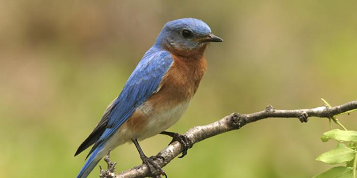 bluebird_700 web