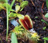 venus flytrap on exhibit at the north carolina zoo