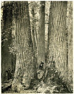 In January 1910, the American Lumberman published this photo of giant chestnut trees in western North Carolina, to show how their size compares to that of the average man.