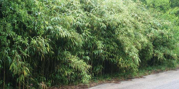 Native North Carolina plant - river cane.