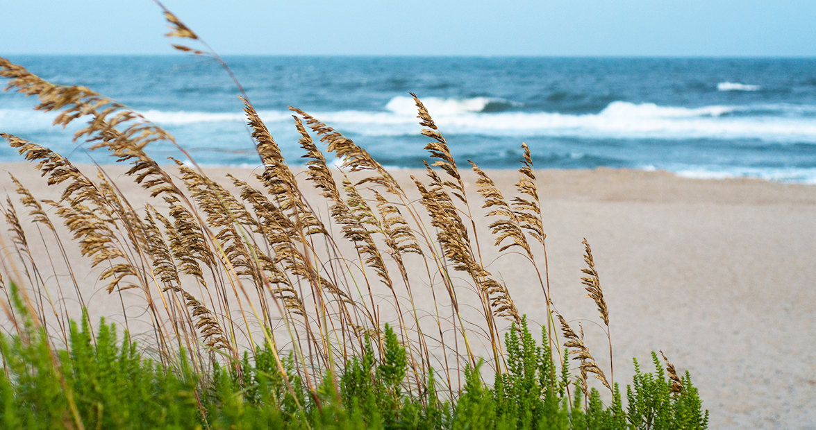 Sea Oats are the Breezy Beach Symbol Defending Our Coast
