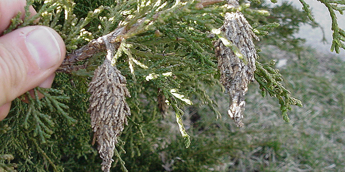 How to Prevent Bagworms – Our State Magazine