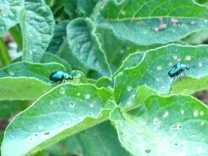 Adult Flea Beetles