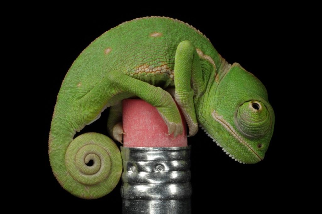 Hatchling Veiled Chameleon, Huntersville. By Michael Martin.