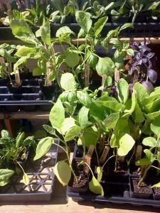 herb hope yancey