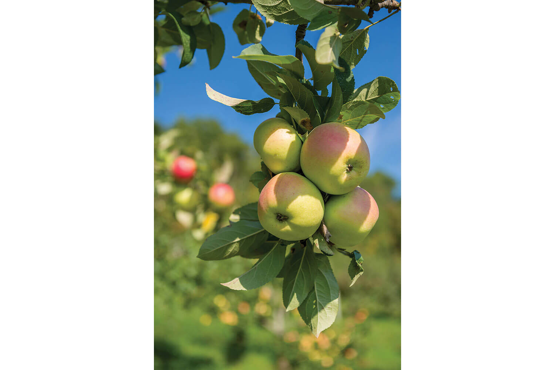 mountain-apples-10