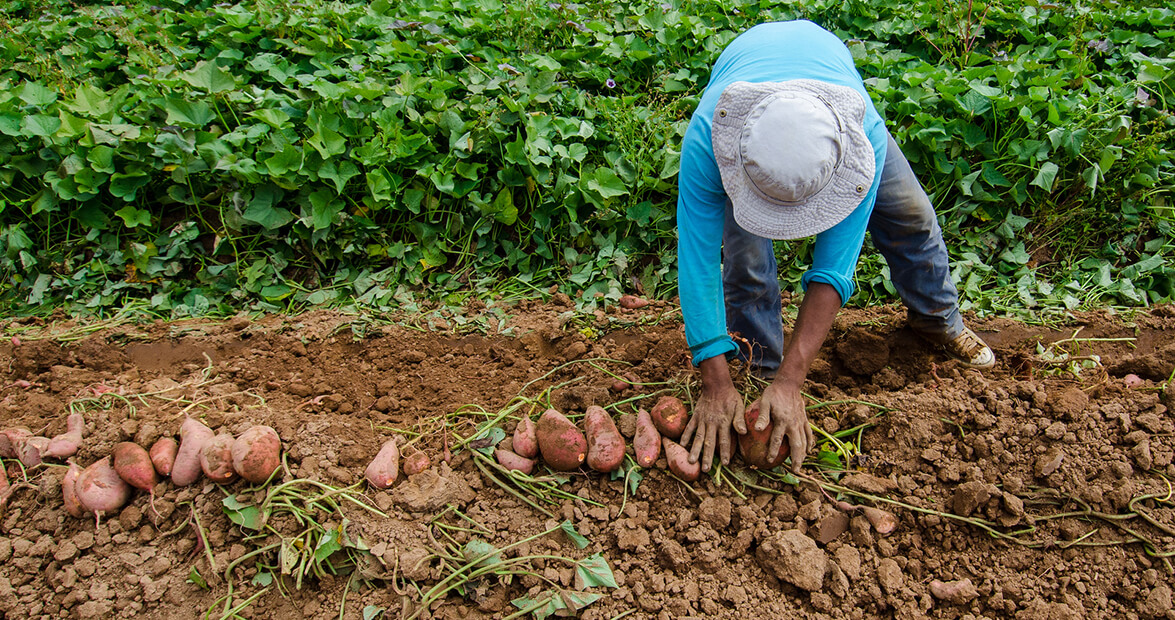 North Carolina's History of the Sweet Potato