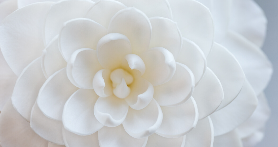 Camellia Japonica sea foam