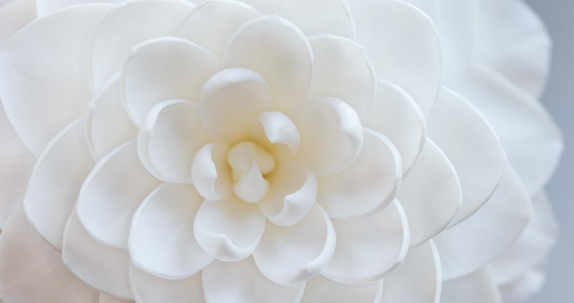 Camellia Japonica sea foam