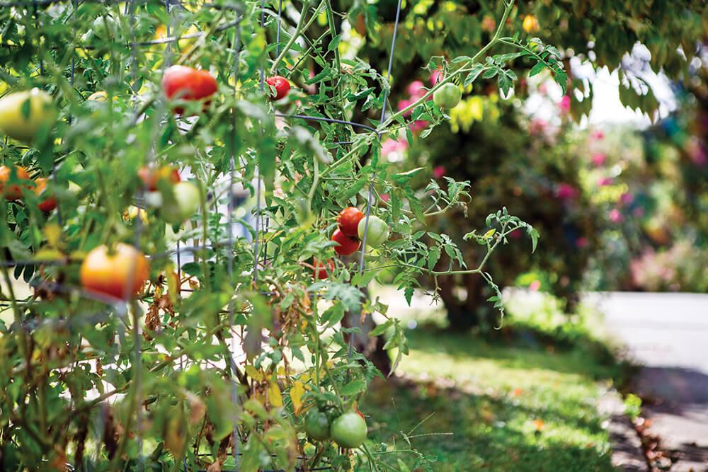greensboro tomatoes