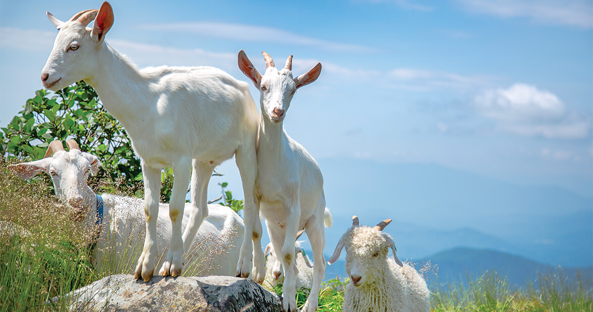 roan goats feature