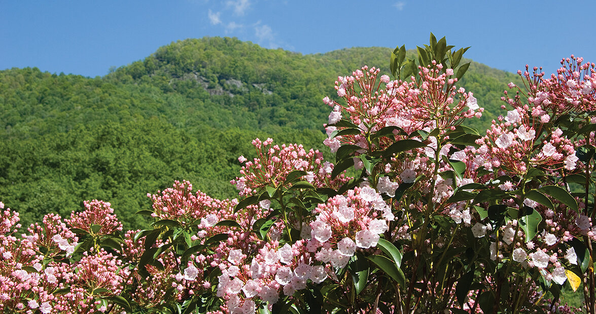 native mountain laurel
