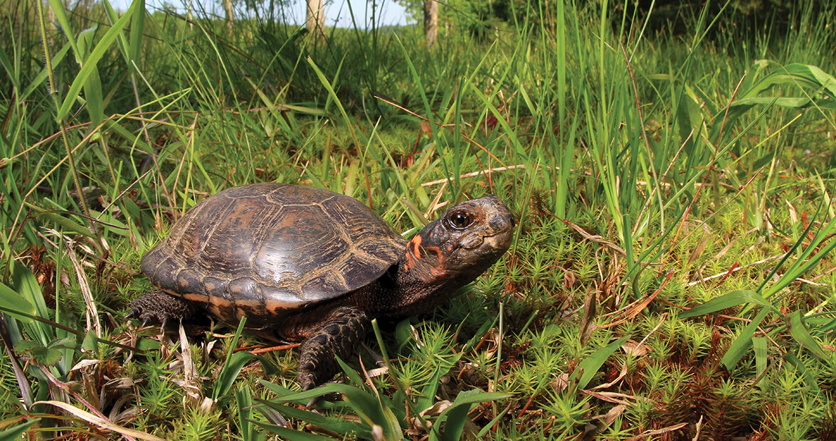 Bog Turtles Have Reason to Smile in Wilkes County – Our State Magazine