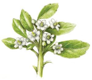 Gallberry
