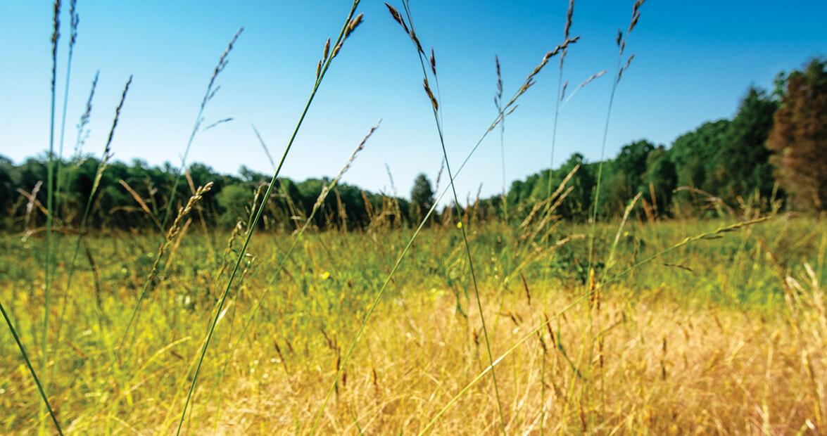 A Growing Interest in Restoring North Carolina Grasslands