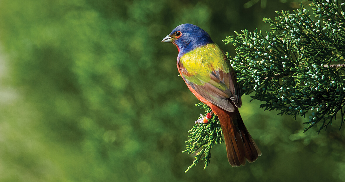 The Painted Bunting Lives Up to its Name