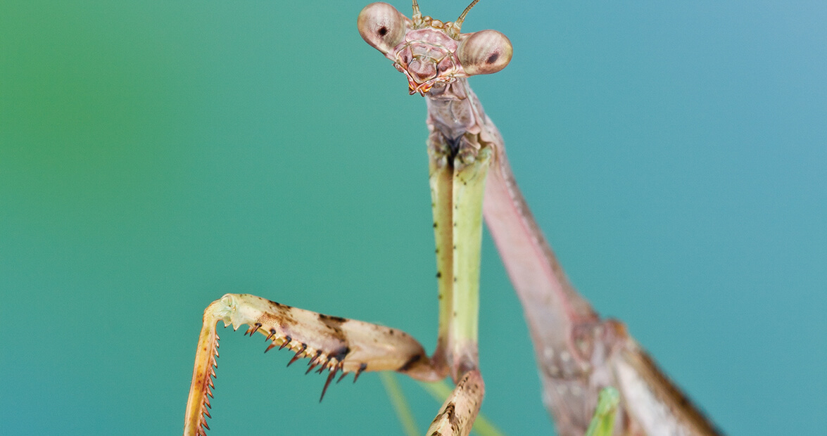 The Short but Mighty Life of the Carolina Mantis