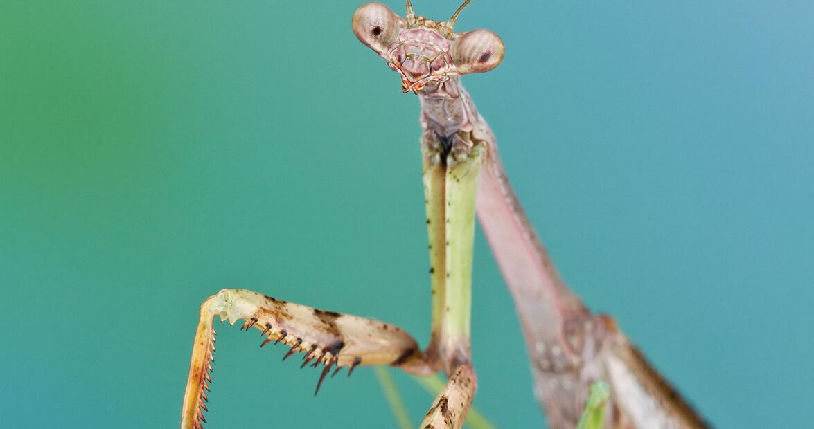 The Short but Mighty Life of the Carolina Mantis