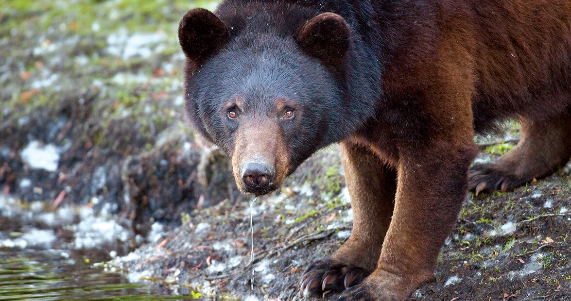 Black Bears Are Making a Coastal Comeback