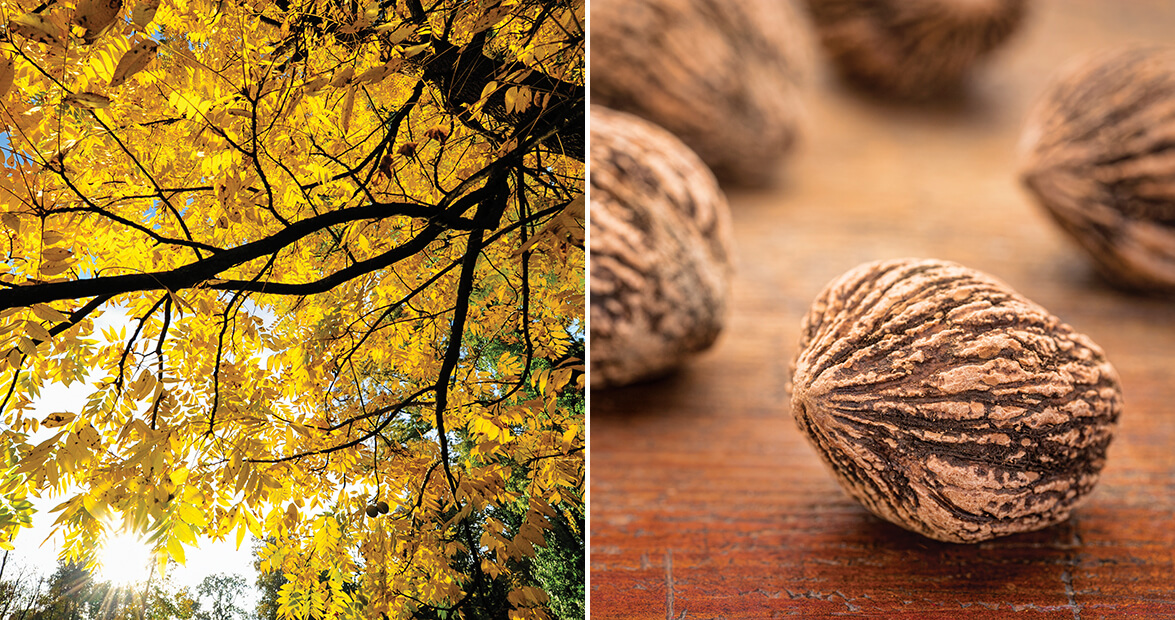 The Life of Black Walnuts, From Branch to Hummingbird Cake