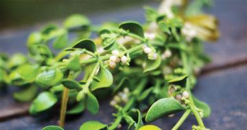 Mistletoe is North Carolina's Most Romantic Parasite