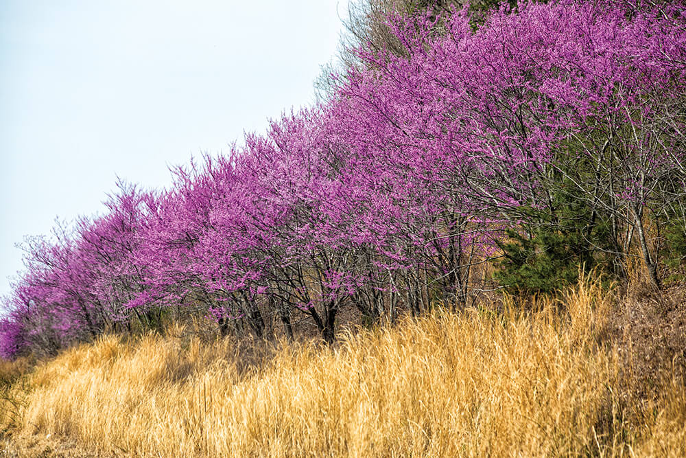 Redbud Flowers Are a Showstopping Sign of Spring