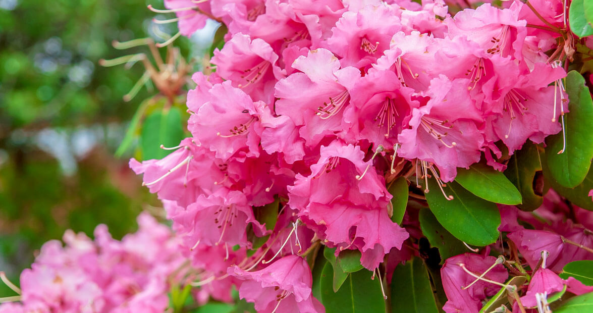 Tips For Pruning Rhododendrons Our State