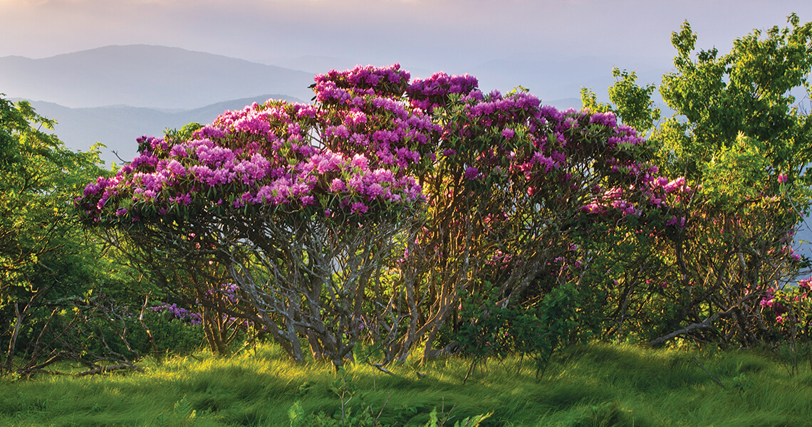 Our State Knows Best Rhododendrons Our State